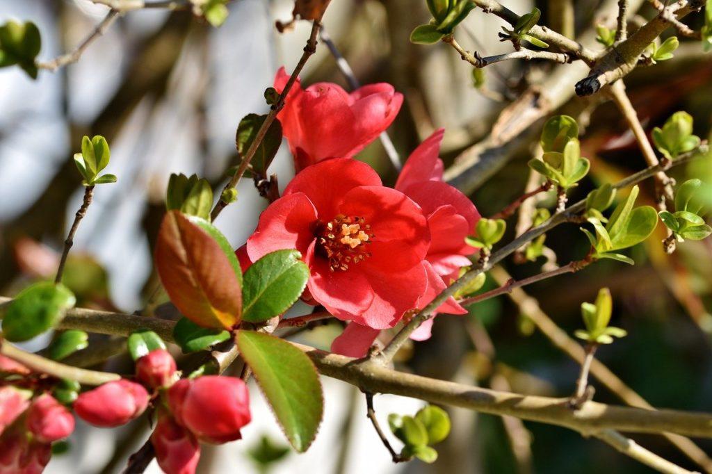 ornamental quince, bush, chaenomeles